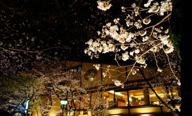 京都|祇園白川南通夜櫻