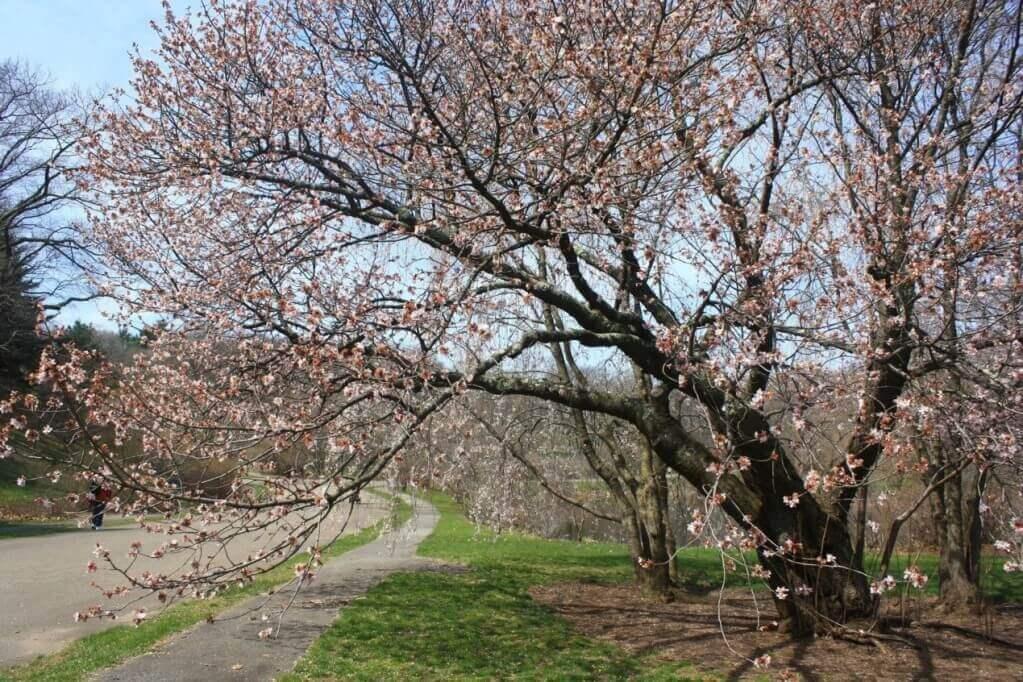 Arnold Arboretum阿諾德樹木園