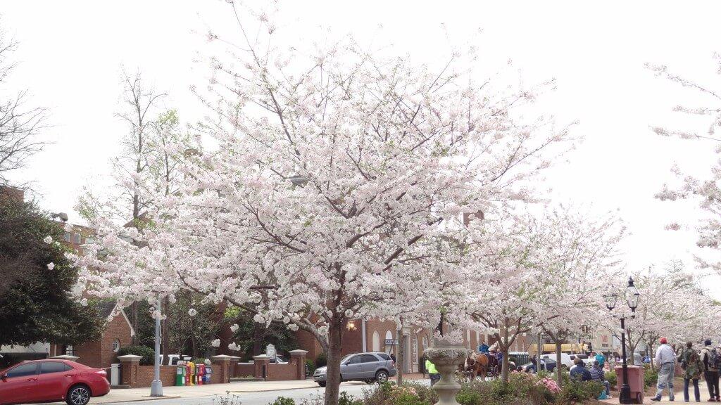 喬治亞梅肯櫻花節
