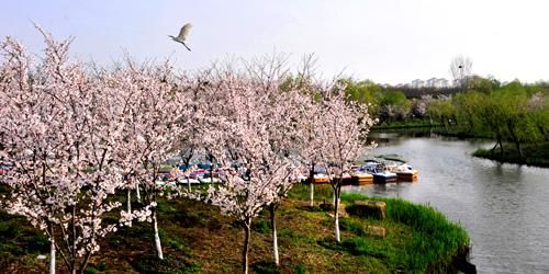 上海櫻花節
