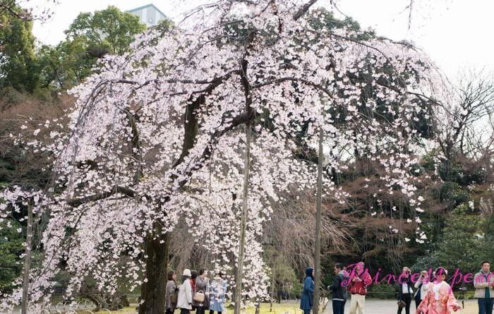 日本: 櫻花漫舞東京親子遊 – 日式庭園之小石川後樂園~!!! (Tokyo, Japan)