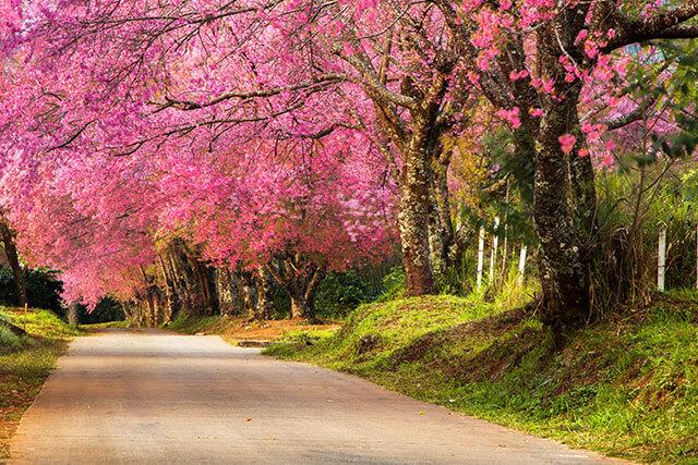 泰國清邁坤昌阡櫻花谷