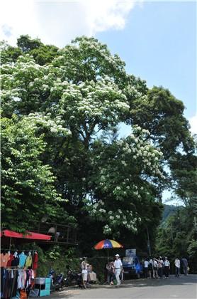 承天禪寺、桐花公園賞桐步道