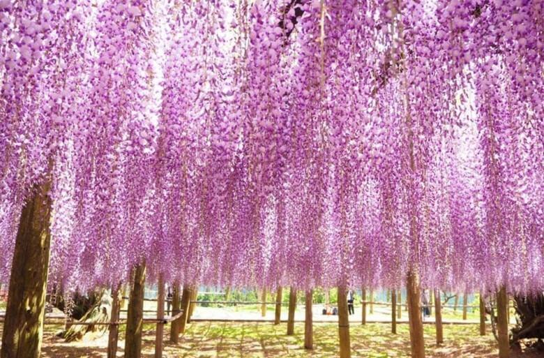 九州➠河內藤園