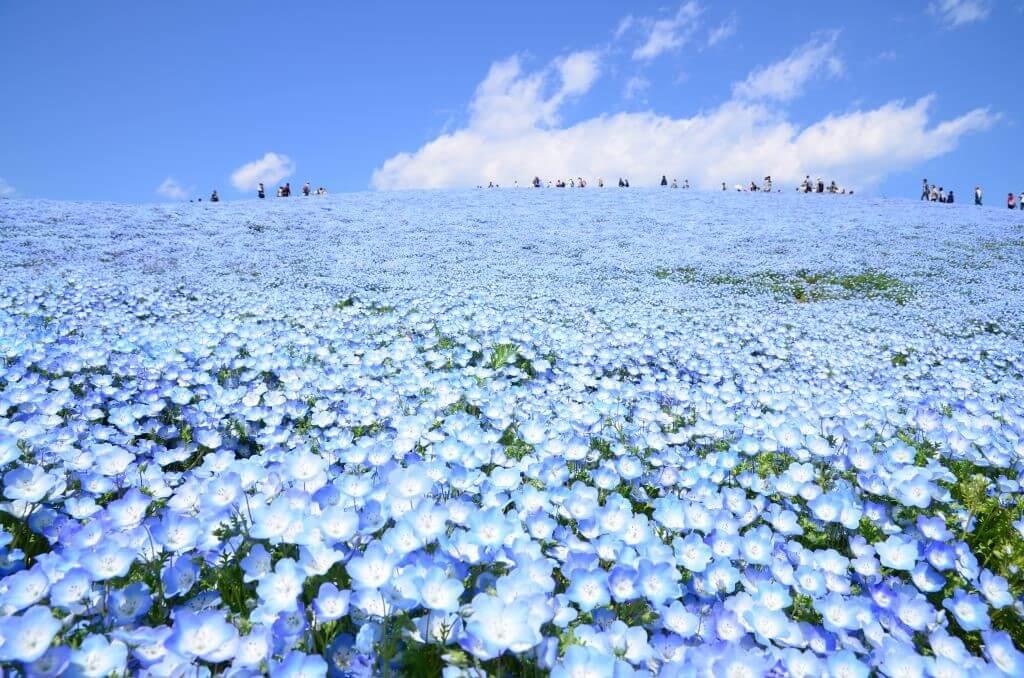 茨城➠常陸海濱公園(ひたち海浜公園)