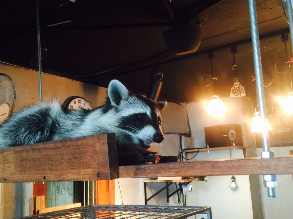 Raccoon Café