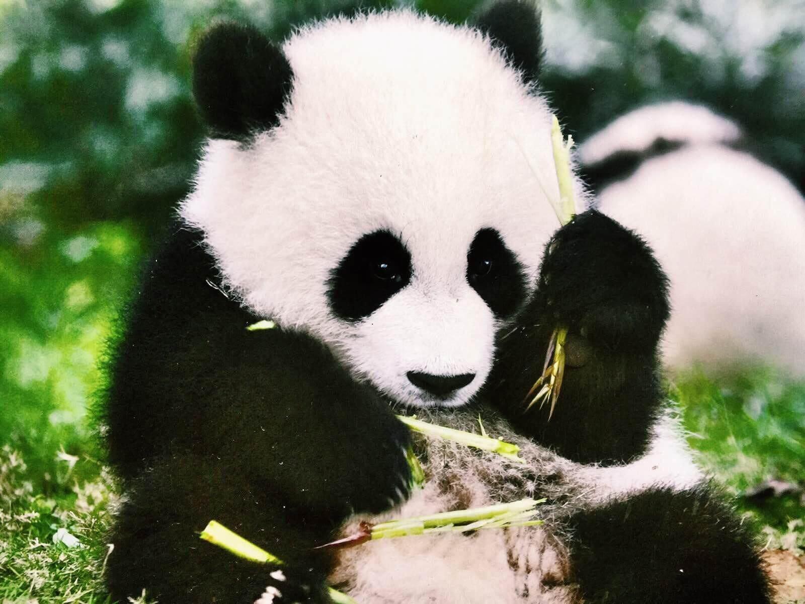 成都─熊貓基地