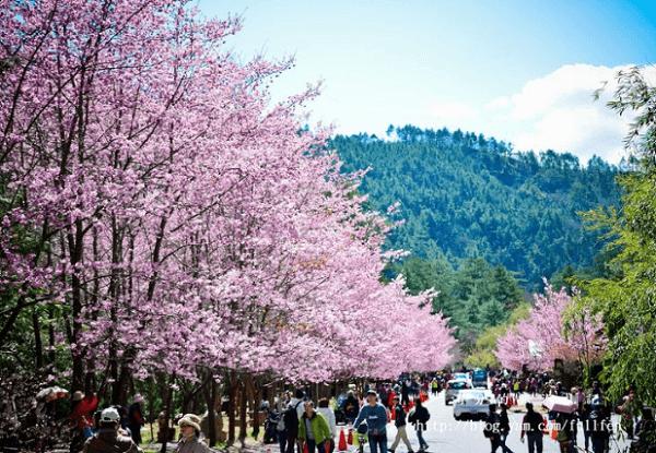 【上山前必讀】武陵櫻花季交通管制、賞花相關資訊,暖冬讓櫻花大爆發啦!