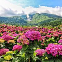 繡球花開啦!全台8個繡球花景點大公開,有3個在台北