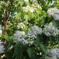 tung_tree_flower_picture1