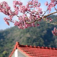 【奧萬大國家森林遊樂區】奧萬大賞櫻季!票價、交通、附近景點