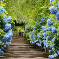 【陽明山花季】不只櫻花、芒草!陽明山各類花海、賞花景